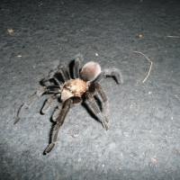 Tarantula Found In Southern Az, Usa