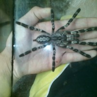 Poecilotheria Regalis Male