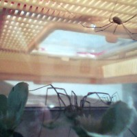 Three Harvestmen