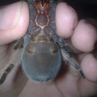 B Smithi.. Female Or Male?