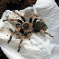 Mexican Red Knee Juvenile
