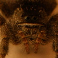 North American House Spider