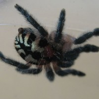 My I.seladonium Female