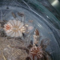 B.albo.. Female Or Male?