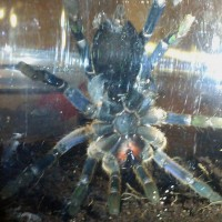 Male Or Female Cobalt Blue