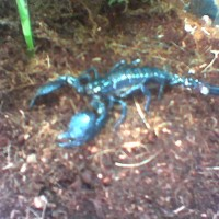 My Emperor Scorpion That I Lost.