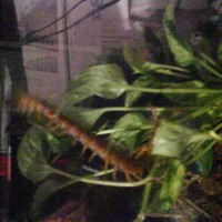 Vietnamese Centipede First Day In New Home.