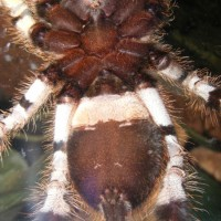 P. Regalis Male Or Female