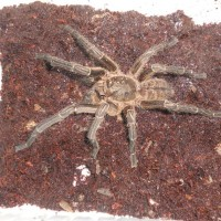 Unknown Haplopelma Male