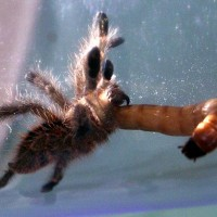 Avicularia minatrix eating a superworm