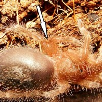 Grammostola pulchripes with fused femurs