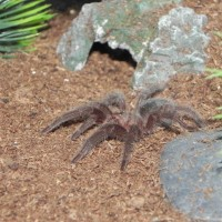Brazilian Black Spiderling (grammostola Pulchra)