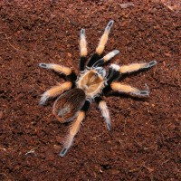 Some Other Pictures Of My Tarantulars