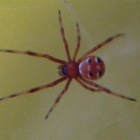 Latrodectus Variolus Northern Black Widow Spiderling