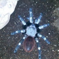 Red N White Striped Birdeater