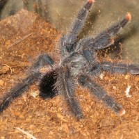 Avicularia What?