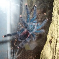 What Type Of Avicularia?