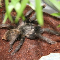 Haplopelma Something???