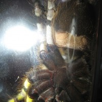 P.regalis Male Or Female?