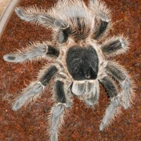 Lasiodora Striatipes