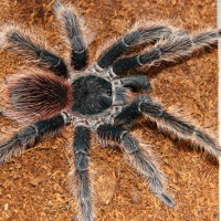 Mature Male Lasiodora Klugi