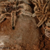 Chilean Rose molt 5-Sept-2011
