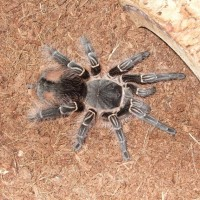 Charlotte~ E. campestratus~ my first T =D