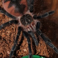 Pamphobeteus sp. platyomma