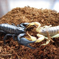 Heterometrus spinifer vs Hadrurus arizonensis