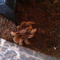 Zelda the Grammostola rosea eating two crickets at once