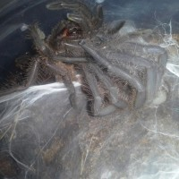 Chilobrachys Khiri Khan Molting