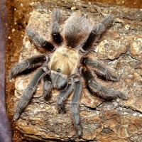 Shug- Sugar City Brown- Aphonopelma coloradanum