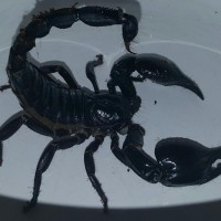 Orion the Scorpion