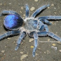 "Pseudhapalopus sp. ""blue"" female"