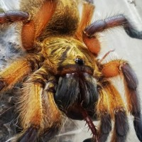 H. Pulchripes