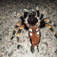 B. Smithi Female