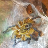 "2.75"" Female H. pulchripes"