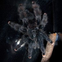 Avicularia avicularia (Twinkle Toes)
