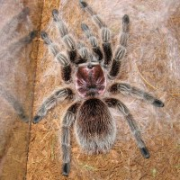 G. Rosea 3 days post molt