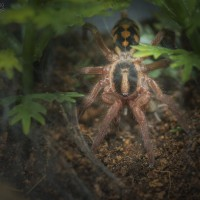 Hapalopus sp. Colombia Large