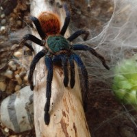 Male GBB in low natural lighting