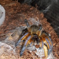 H.pulchripes