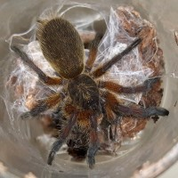 H.pulchripes sling