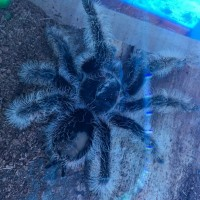B. albopilosum - bald patch