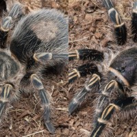 Visual differences between my two G. pulchripes