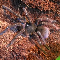 Theraphosa Stirmi (Majesty)