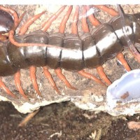 Scolopendra dahaani! PEAHC LEG!