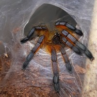 H.pulchripes sling post molt