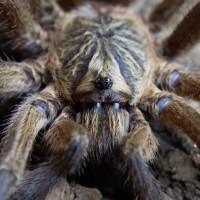 Harpactira pulchripes MM