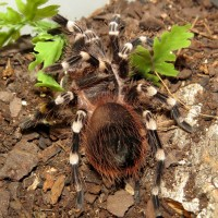 "Spazmoid (♂ Acanthoscurria geniculata 3"")"
